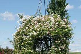 Bad Nauheim und die Rosen