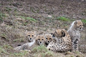 Gepardenwelpen im Neuwieder Zoo