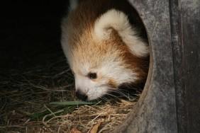 Nachwuchs bei den Roten Pandas…