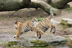 Kölner Zoo und die Tigerbabies